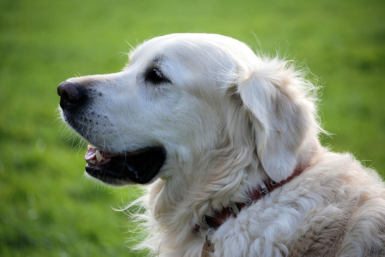 Rozmnażanie psów – o czym warto pamiętać?
